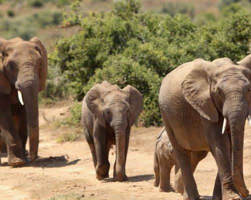 elephants-africa