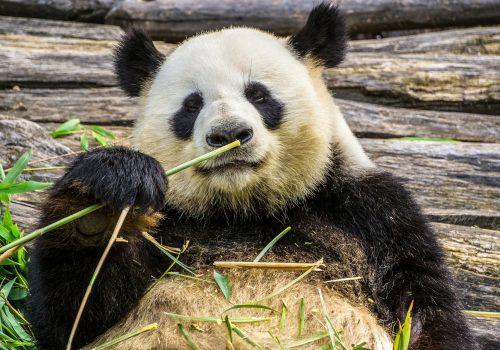 panda-3555554_1920